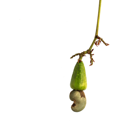 Fresh Cashew Nut on white background