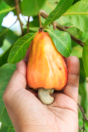 Hand harvesting Cashew fruit (Anacardium occidentale) on tree