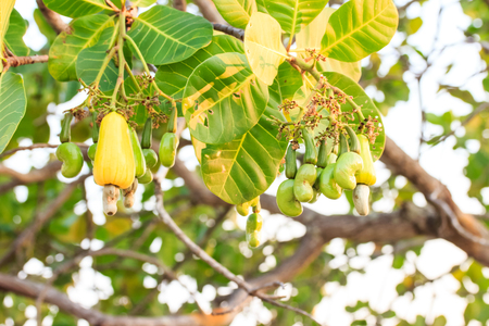 Cashew nuts growing on tree 免版税图像