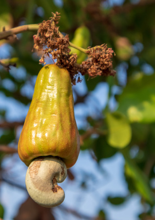 Young Cashew nuts growing on tree