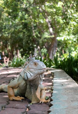 Iguana in the garden is relying on the sun to kill germs Stock Photo