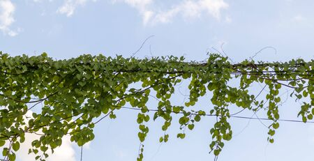 green Ivy plants hanging on electrical wires Stock Photo