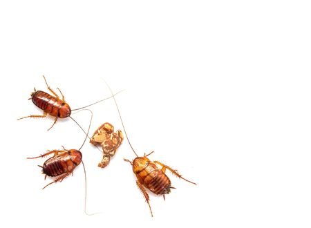 Three Cockroach Swarmed to eat chocolate isolated on white background. Stock Photo