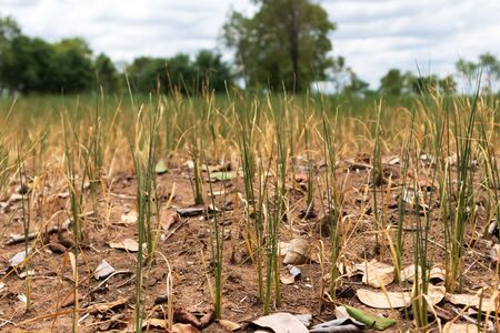 Rice is dying because of drought.