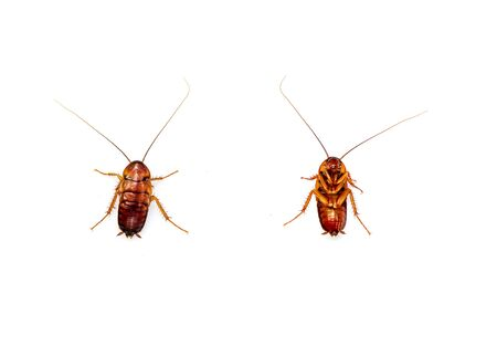 Front and back top view Cockroach isolated on white background.