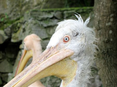 Close-up of two pelicans (European white and Dalmatian ones) photo