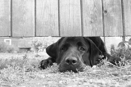 perro triste: Cute triste perro en virtud de la valla (en B & W)