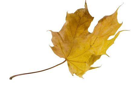 Flying autumn maple leaf (isolated on white) Stock Photo - 3658317