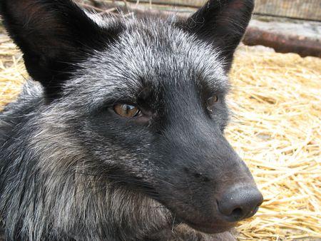 silver fox: Primer plano de la cabeza de un zorro plateado
