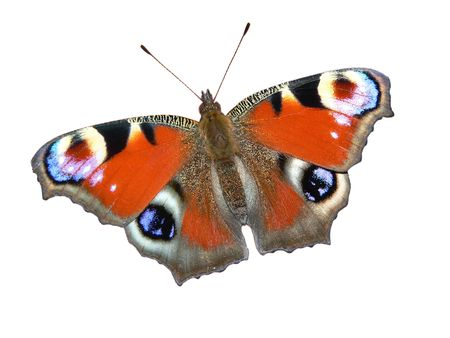 inachis: European Peacock butterfly (Inachis io) isolated on white Stock Photo