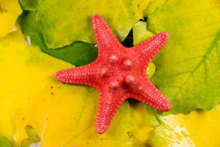 withering: Red starfish on fading yellow and green leaves
