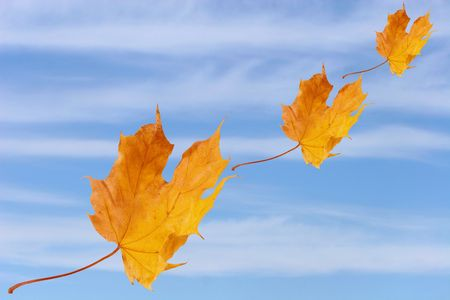 Autumn maple leaves flying against the background of blue sky with clouds photo