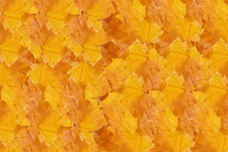Row of yellow autumn maple leaves (as a background) Stock Photo - 5645208