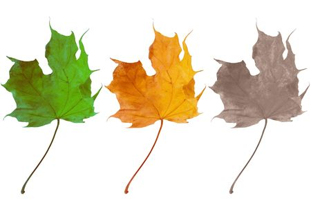 Three leaves symbolizing birth, life and death (green, yellow and faded maple leaves isolated on white) Stock Photo