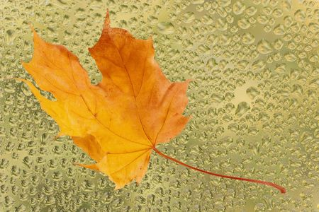 withering: Autumn maple leaf on the yellow glass with raindrops