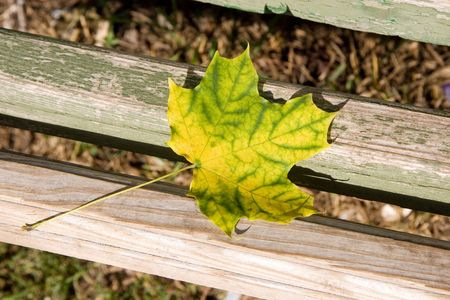 withering: Bright autumn maple leaf on a park bench