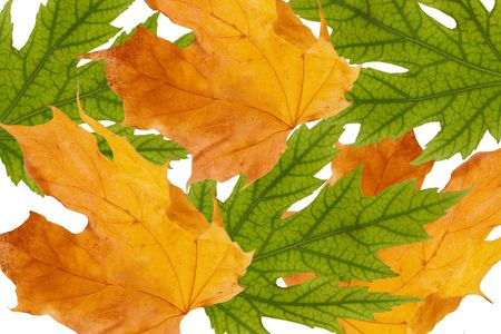Bunch of green and yellow maple leaves (isolated on white) Stock Photo - 5731644