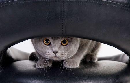 Funny Scottish cat peeping through the hole photo