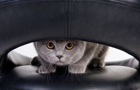 Funny Scottish cat peeping through the hole photo