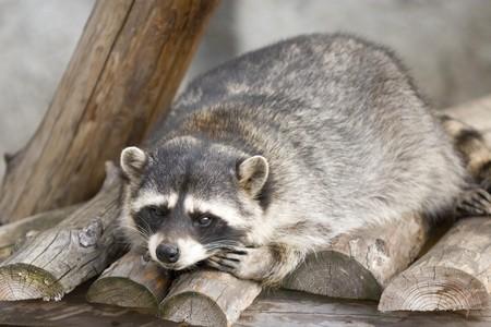 Funny raccoon lying on logs Stock Photo - 7117193