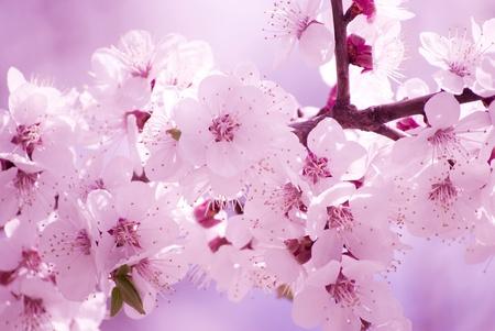 Beautiful blurred sakura flowers in the morning mist, shallow DOF