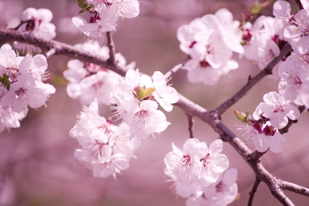 Slightly blurred beautiful sakura flowers in the morning mist (shallow DOF) Stock Photo - 9195157
