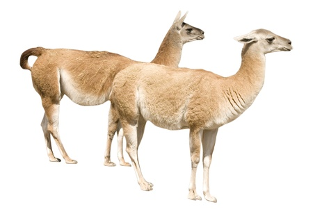 Two llamas (isolated on white) photo