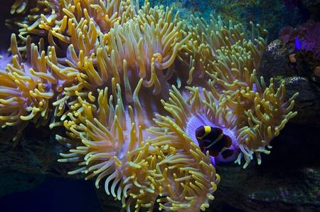 Beauty of the undersea world (sea anemone and a clown fish) photo