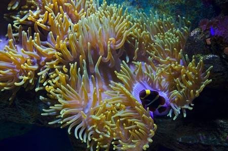 pez payaso: La belleza del mundo submarino (an�mona de mar y un pez payaso)