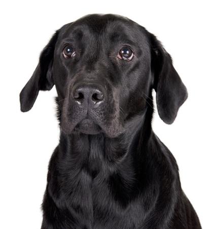 Portrait of a black Labrador Retriever  isolated on white  photo