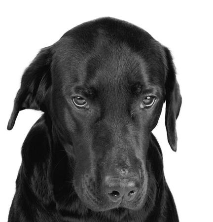perro furioso: Retrato de un labrador negro sombr�o en blanco y negro, aislado en blanco