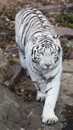 white tigers: White tiger walking and staring with its green eyes