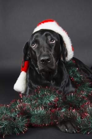 Black labrador with a funny look  wearing a Santa hat  photo