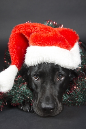 Black labrador with a funny look  wearing a Santa hat