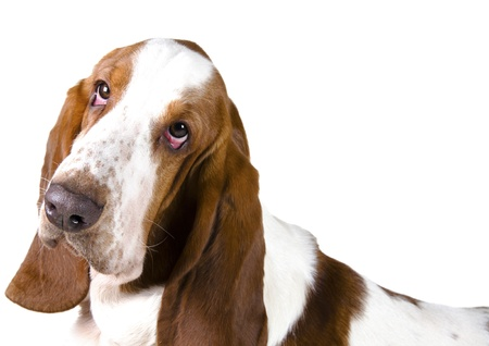 Portrait of a Basset Hound  isolated on white  Stock Photo