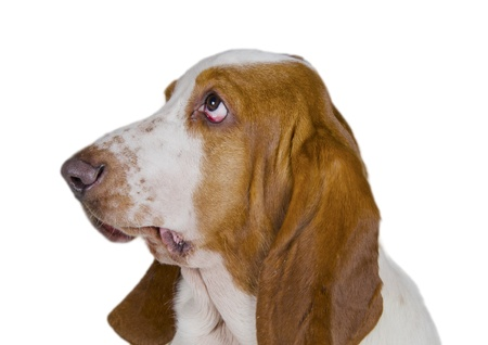 Funny-looking Basset Hound  isolated on white  photo