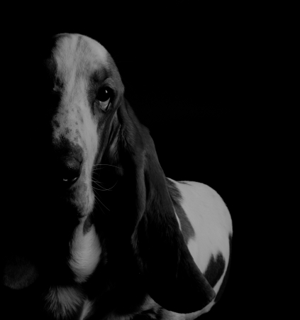 Basset Hound in the dark  in black-and-white, retro style  photo