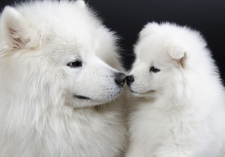 Two Samoyed dogs  isolated on a black background