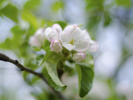 dof: Beautiful blurred apple-tree flowers, shallow DOF