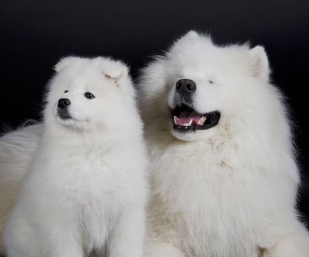 siberian samoyed: Two Samoyed dogs (isolated on a black background) Stock Photo
