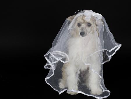 Netter Chinesischer Schopfhund (Powderpuff Sorte) einen Brautschleier tragen, isoliert auf schwarz
