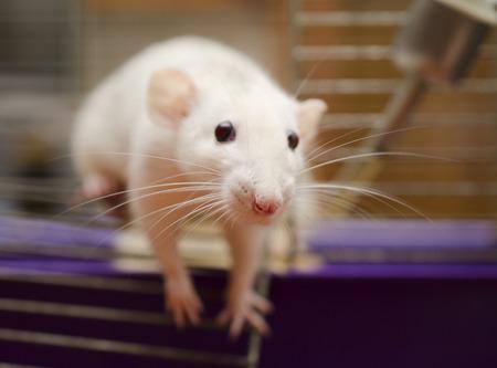 rata: Cuus rata blanca tratando de escapar de una jaula (DOF bajo, foco en la nariz ratas)