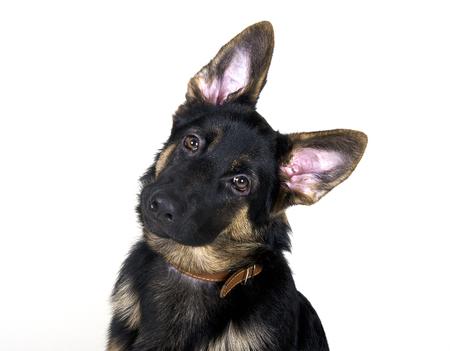 (白で隔離) 長い耳と頭が傾いていると面白いジャーマン シェパードの子犬