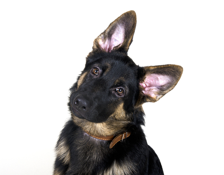 alsatian shepherd: Funny German shepherd puppy with long ears and head tilted (isolated on white)
