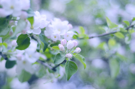 shallow: Blurred apple-tree flowers, shallow DOF (retro style) Stock Photo