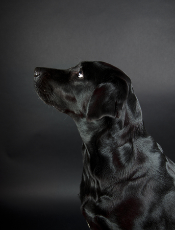 Portrait of a beautiful black Labrador Retriever (on a black background) Stock Photo