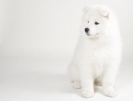 siberian samoyed: Lovely Samoyed puppy (on a light gray background) Stock Photo