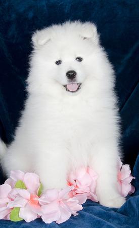 siberian samoyed: Lovely Samoyed puppy sitting on a sofa among flowers