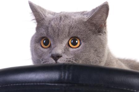 peeping: Funny Scottish cat peeping over an armchair Stock Photo
