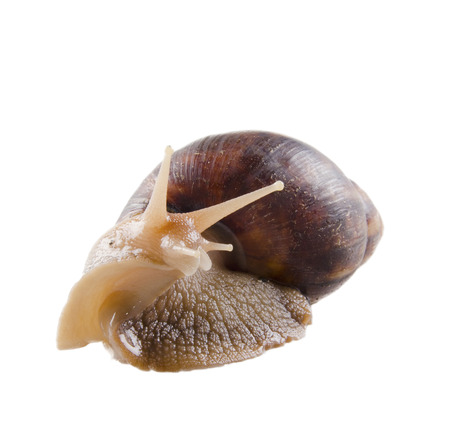 land shell: Giant African land snail (isolated on white)